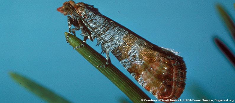 Pine Tip Moth